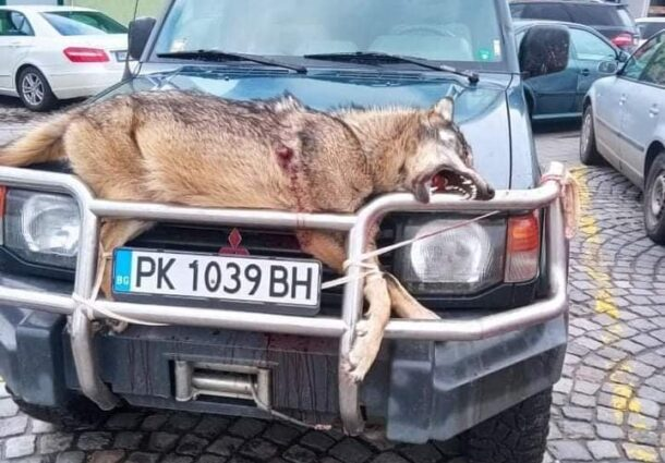 Застрелян вълк, проснат върху джип, потресе жители на Перник