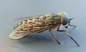 Учени твърдят, че мухи разпространяват COVID-19