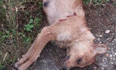 Изверг застреля майка-кърмачка на 6 кученца в Свищовско