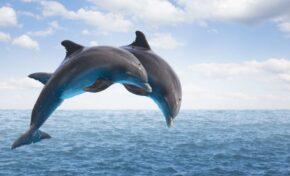 74 хиляди делфини живеят в българската акватория на Черно море