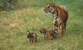 Капан уби един от най-редките тигри в света